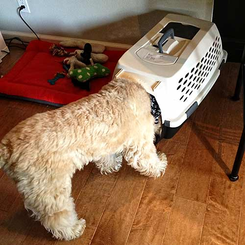 nosey dog getting into someone else's crate