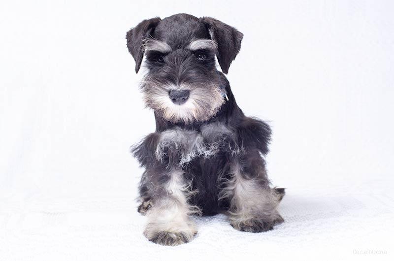 Doggy Behavior Fix – Kid Hating Miniature Schnauzer (Part 3 of 7)