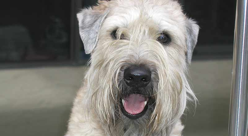 Doggy Behavior Fix – Jumping Wheatens (Part 2 of 7)