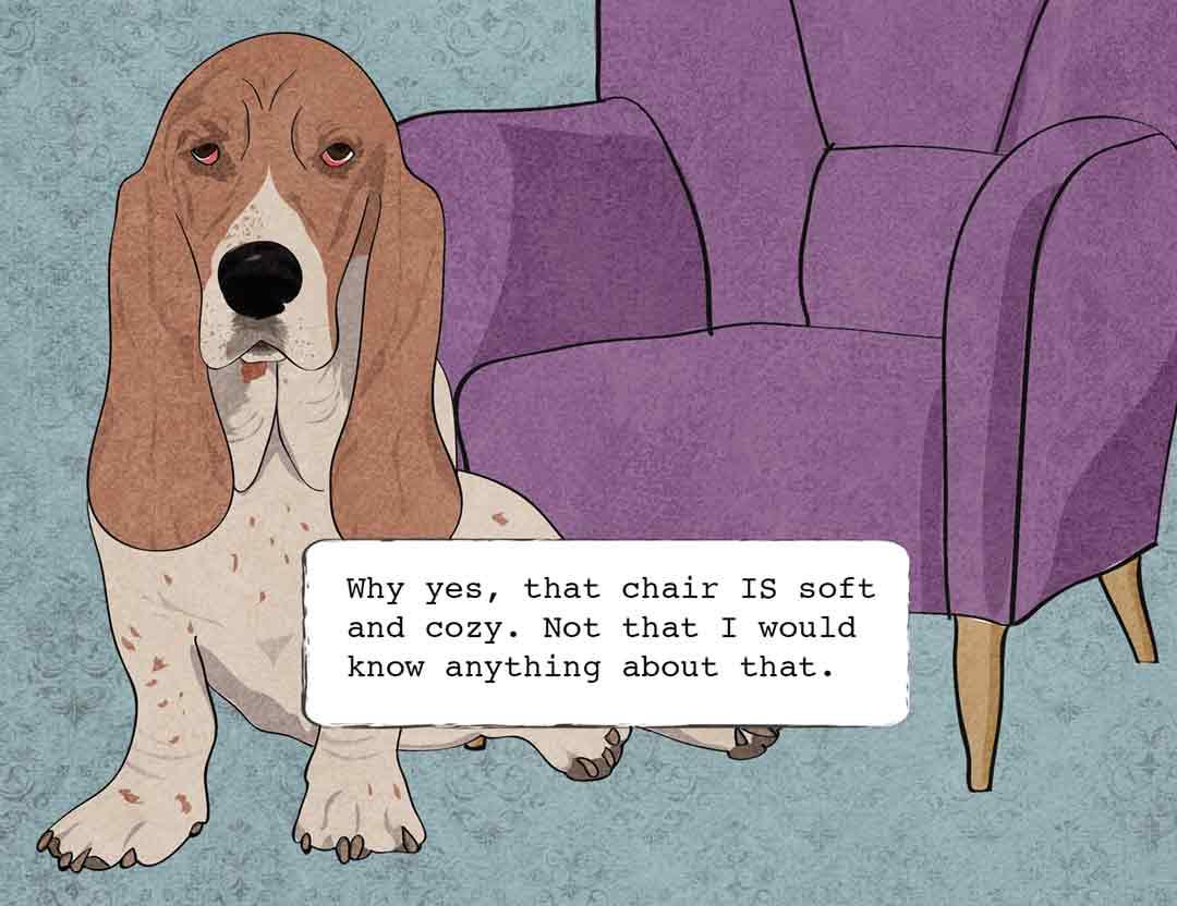 guilty basset hound on furniture
